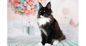 - Main coon